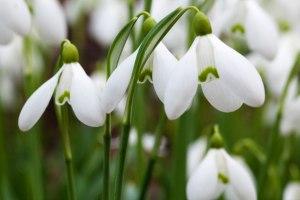 snowdrops-