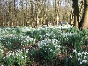 Snowdrops_at_Bank_Hall