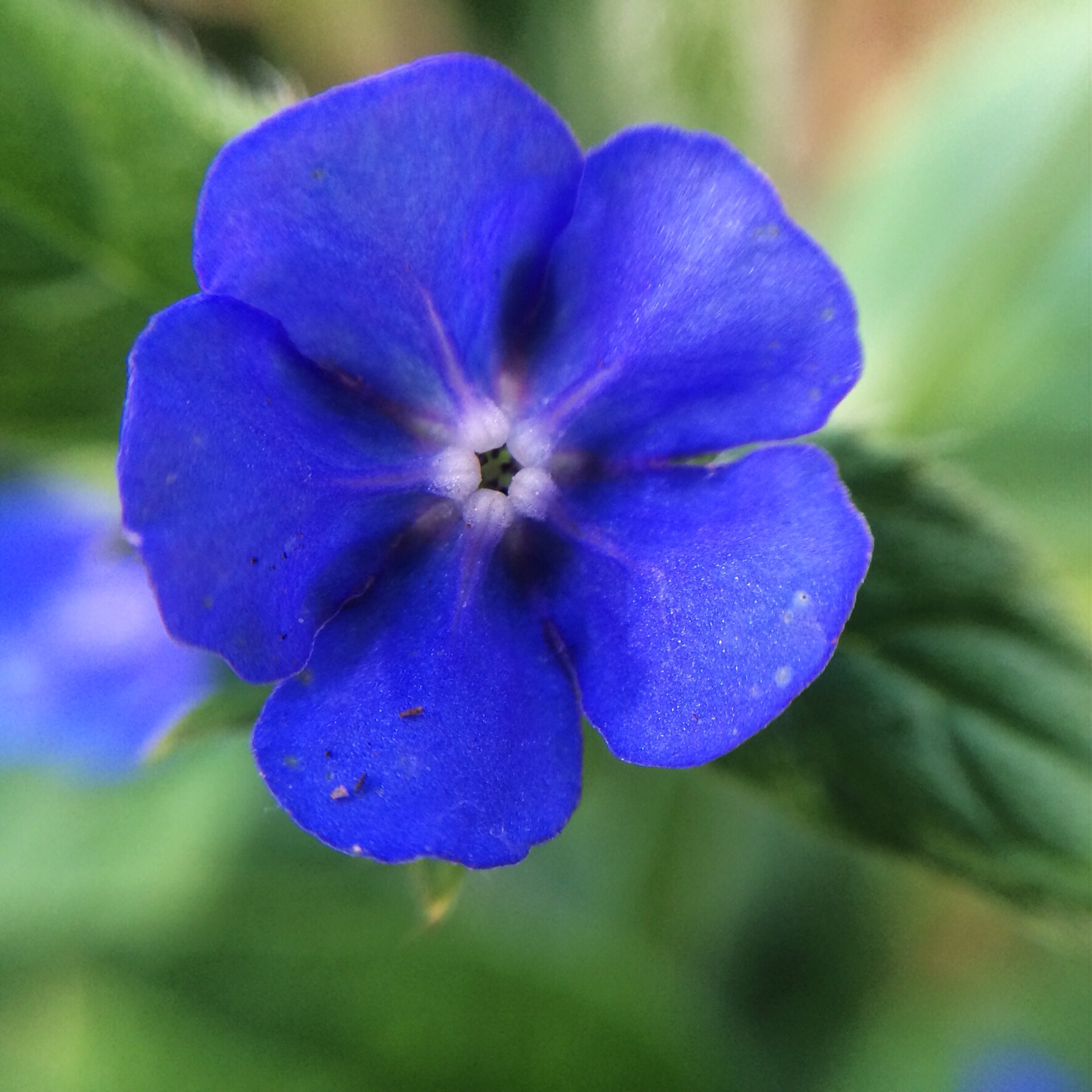 Similar to forget me nots but not really as welcome is anchusa above this plant is really rather a thug and self seeds too freely around and then puts